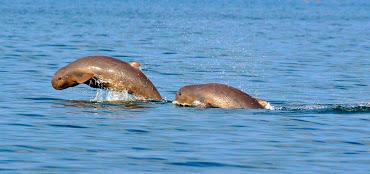 Delfin-Irawadi-rio-Mekong